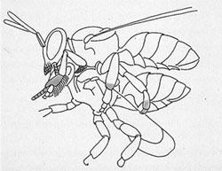 Σχεδιάγραμμα ζευγαρώματος μέλισσας